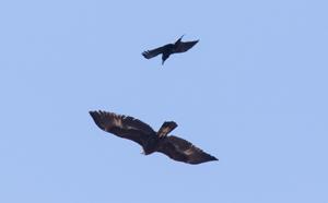 Raven and Golden Eagle ~Tim Baerwald