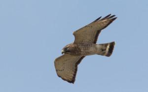 Broad-winged Hawk ~ Tim Baerwald
