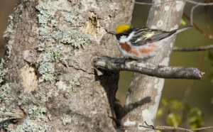 Chestnut-sided Warbler ~ Tim Baerwald
