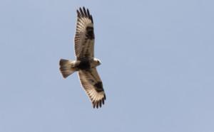 Rough-legged Hawk ~ Tim Baerwald