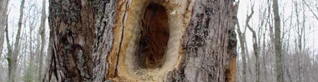 The work of a Pileated Woodpecker