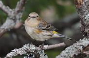 Yellow-rumped Warbler ~Barb Hartwig