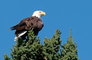 Bald Eagle ~Steve Brimm